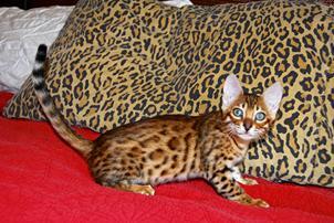 Santa Fe Bengal Cattery Http Www Santafebengalcattery