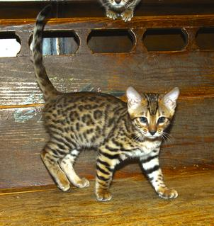 Bengal kittens for sale in texas under $200