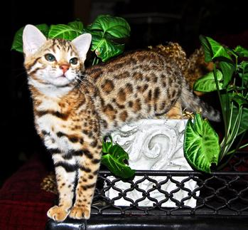 Santa Fe Bengal Cattery - Available Kittens - Bengal Kitten photos