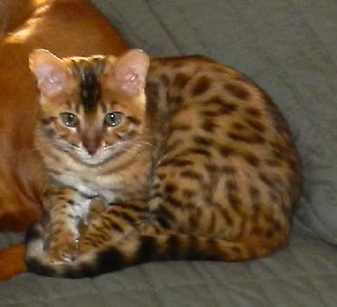 Temperament of a bengal cat