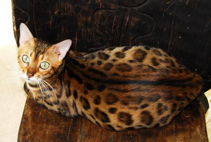 Santa Fe Bengal Cattery - About our Cattery: New Mexico